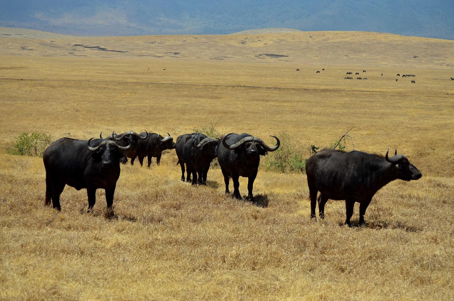 ñus en el Ngorongoro safari