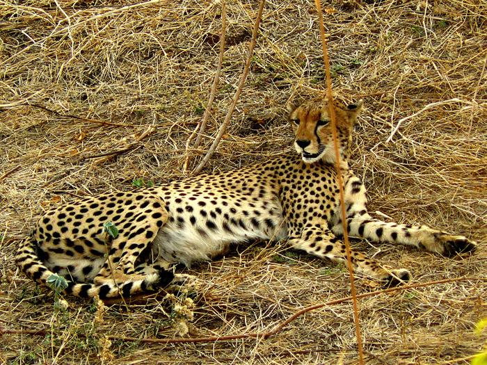 guepardo en safari sur de Tanzania