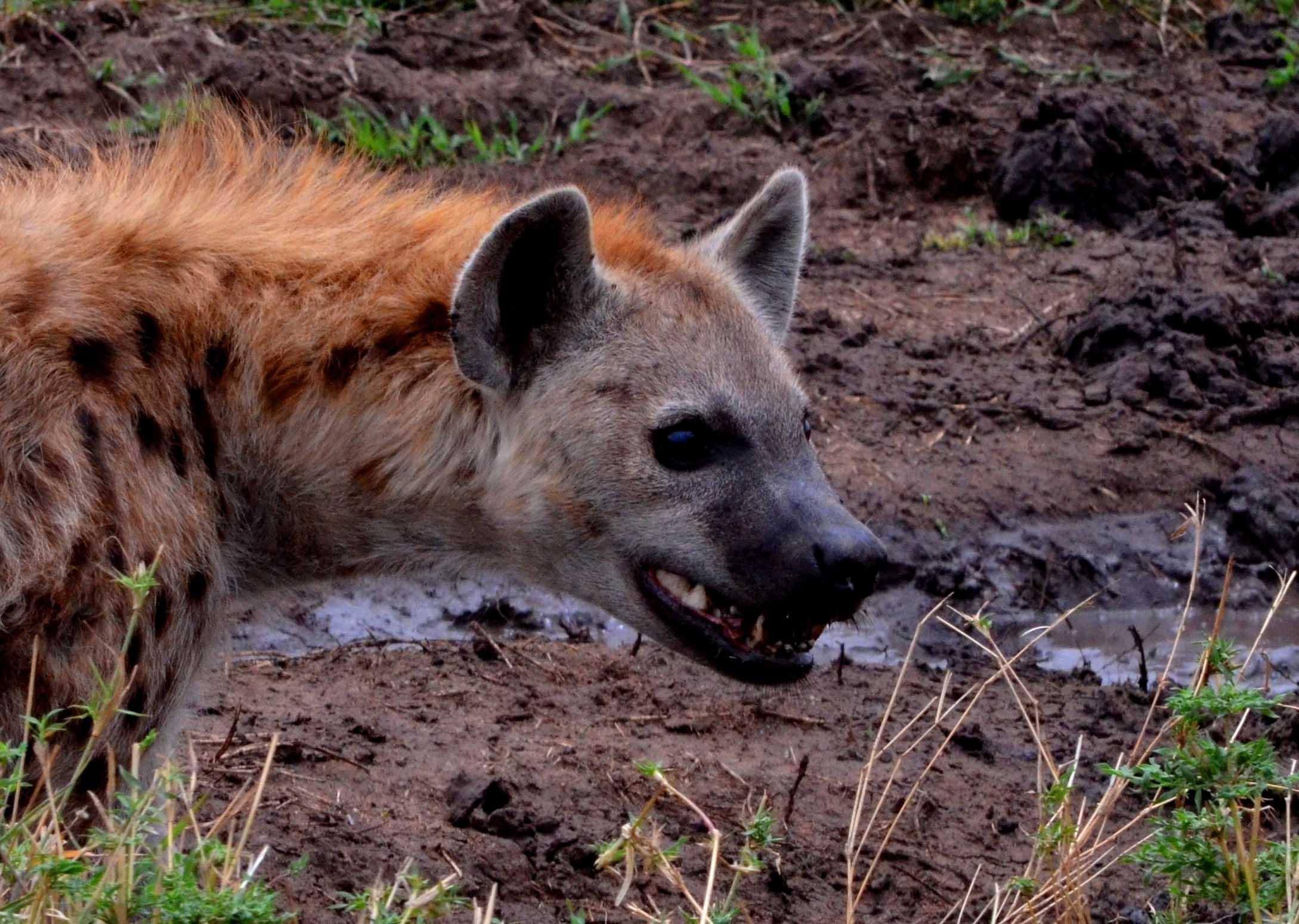 Hiena en Safaris Tanzania