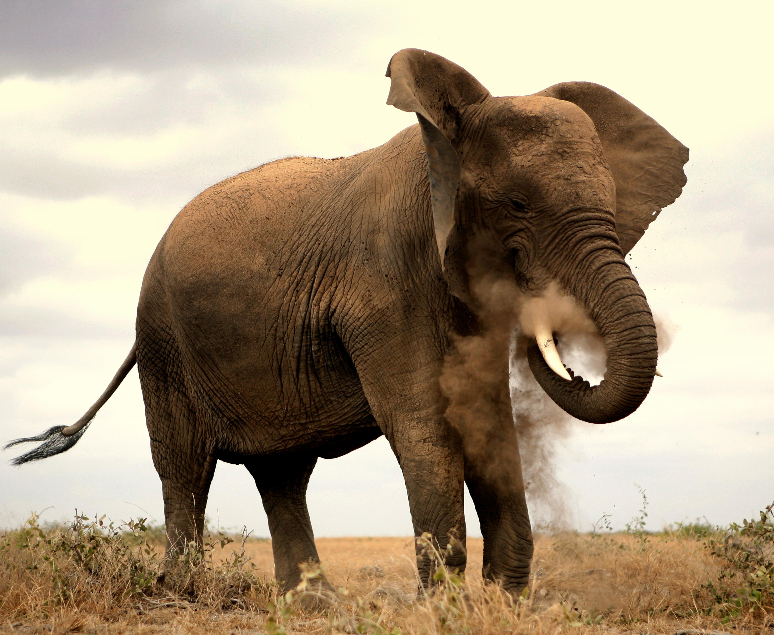 Elefante en Amboseli