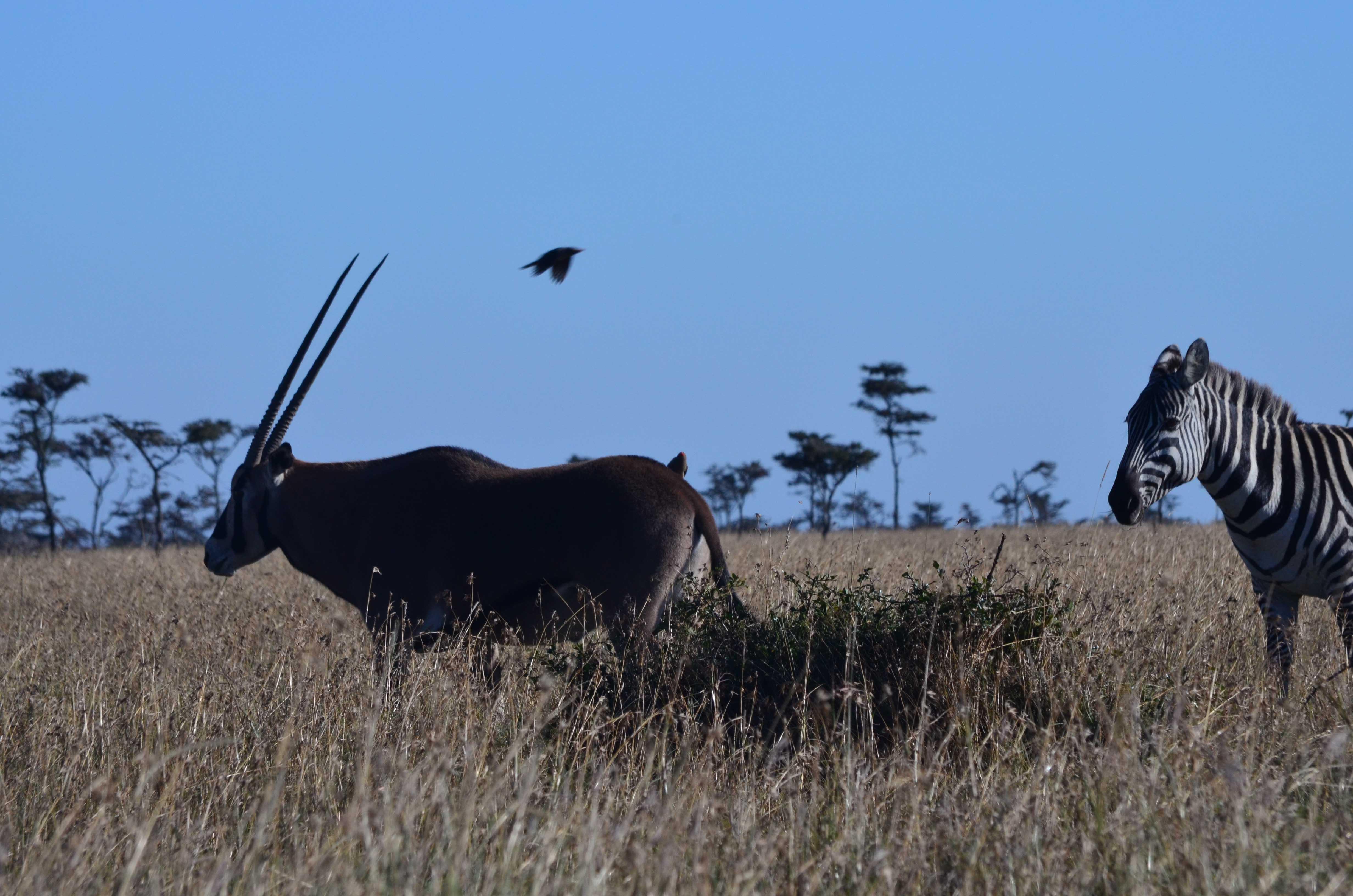orix en Ol pejeta Kenya safaris