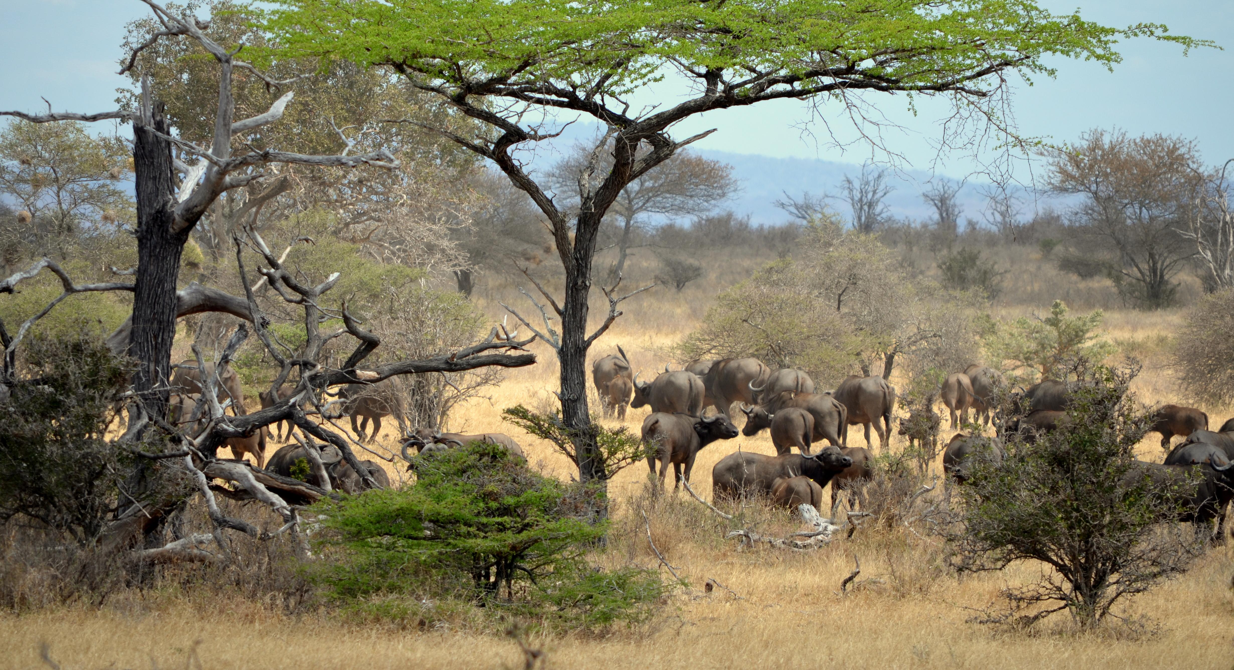 Búfalos. safari en Selous. Tanzania