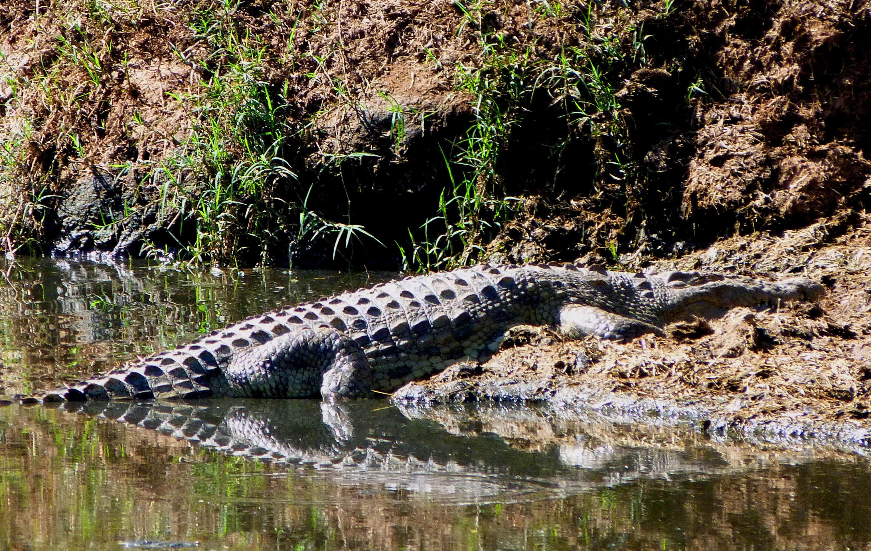 cocodrilo en Mikumi safaris Tanzania