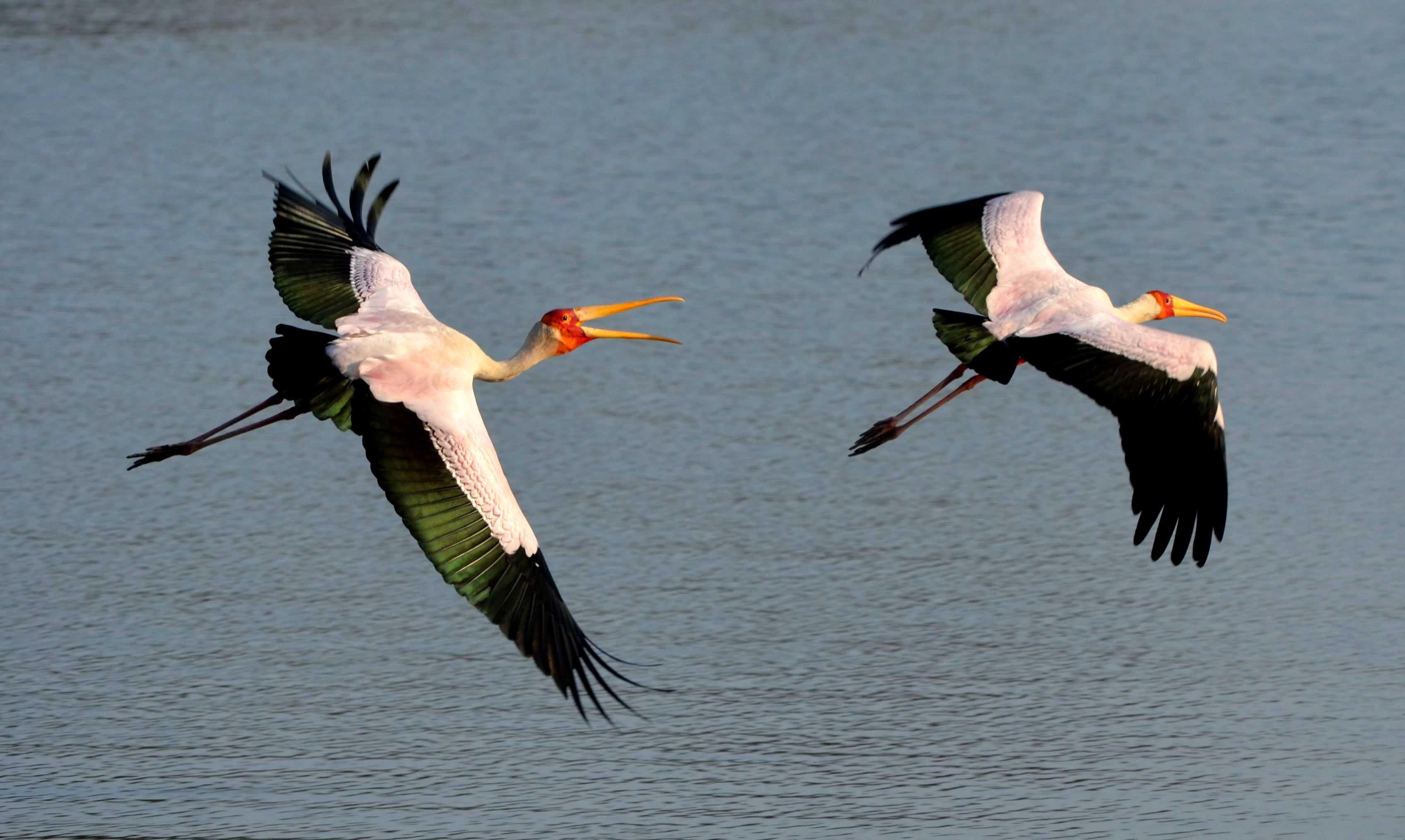 cigüeñas sobre los lagos de Selous