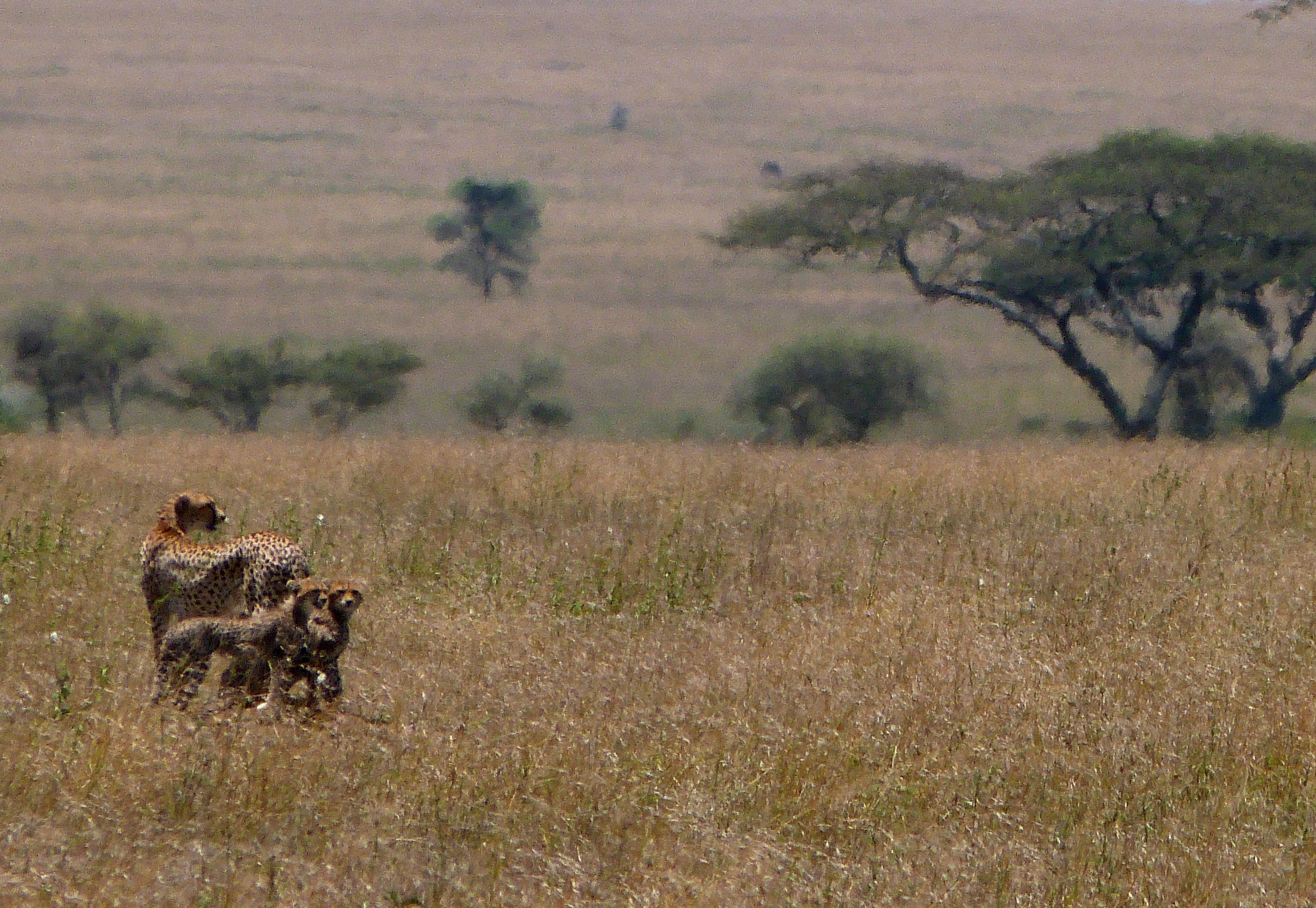 Guepardos en el Serengeti  Safaris