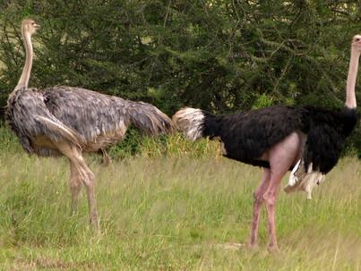 Curiosidades de la reproducción de las avestruces