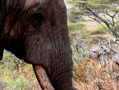 Científicos de la universidad de Oxford demuestran que los elefantes emiten un grito de alerta espec