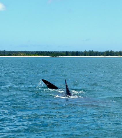 tiburones ballena en Mafia ( Tanzania )