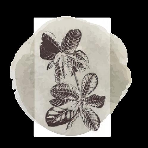 Geranio Bourbon  (Pelargonium Graveolens)