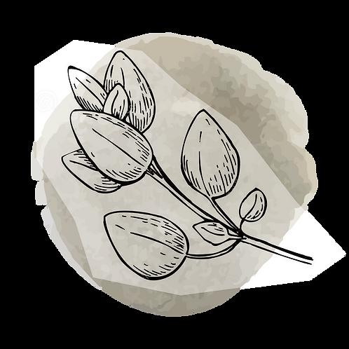 Oregano Compacta  (Oreganum Compactum)