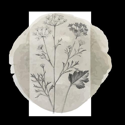 Niaouli (Melaleuca Viridiflora)