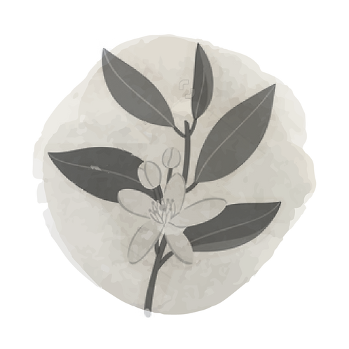 Petitgrain (Citrus Aurantium Var. Amara)