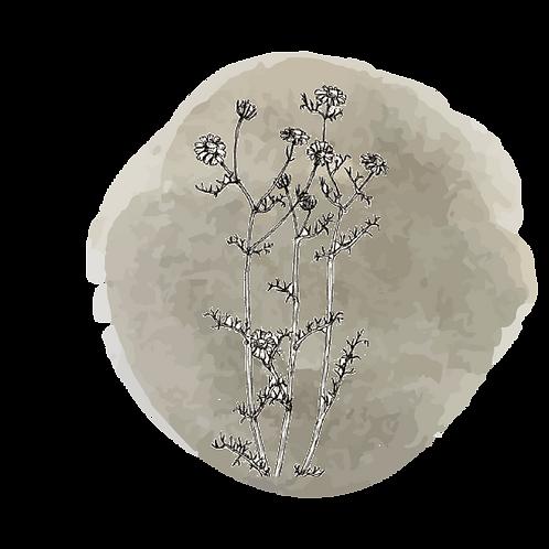 Manzanilla Germana  (Matricaria Chamomilla)