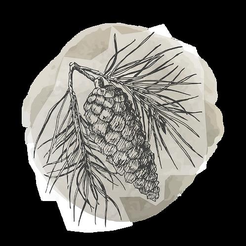 Pino (Pinus Sylvestris)