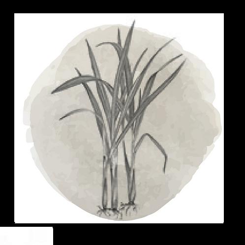Vetiver  (Vetiveria Zizanoides)