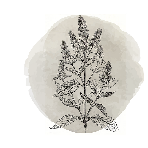 Menta Piperita Orgánica (mentha piperita)