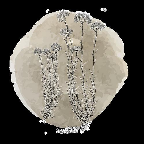 Helicrisium (helichrysum italicum)