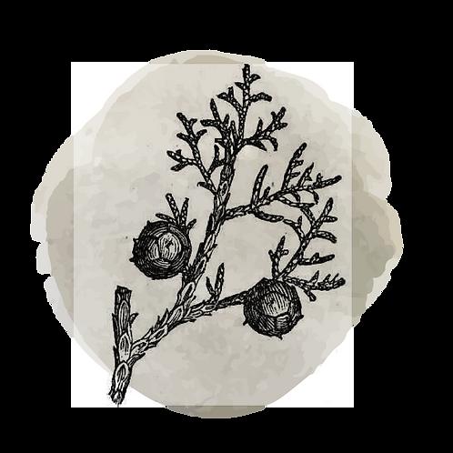 Cipres (Cupressus Sempervirens)