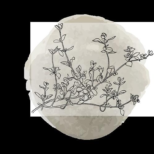Mejorana Dulce (Origanum Marjorana)