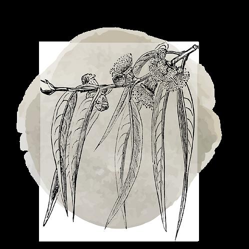 Eucaliptus Smithii  (Eucalyptus Smithii)