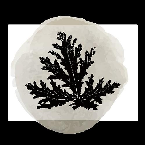 Citronela (Cymbopogon Nardus)