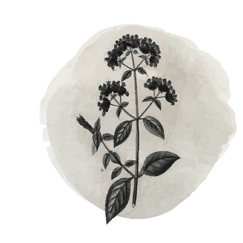 Mejorana Española (Thymus Masticina)
