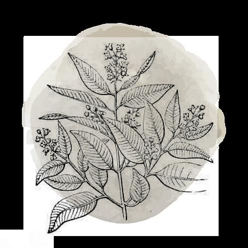 Sandalo diluido 3% en aceite jojoba (Santalum Austrocaledonicum)