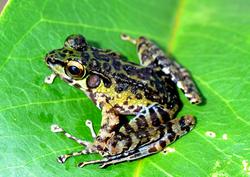Sumaterana crassiovis