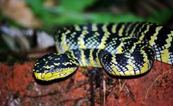 Tropidolaemus wagleri - Wagler's pit vip