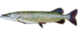 northern-pike-600.png