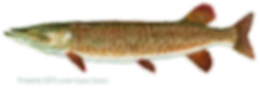 muskellunge.png