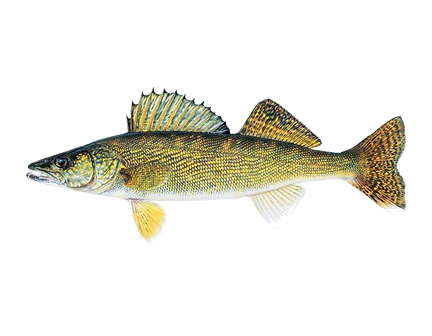 Walleye_Male_Sander_vitreus_3-2017.png