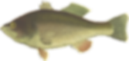 bass-clipart-fish-17.png