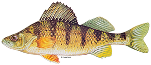 Yellow_perch_DuaneRavenArt.png