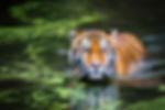 Se Förening - Tiger