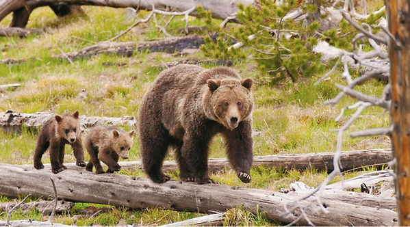 griz - Copyright Rain Bear Stands Last.j