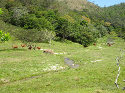 Cattle and Fresh Water Stream