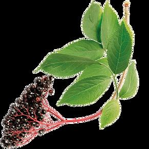 elderberry-1.png