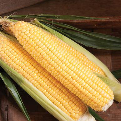 Sweet Corn, Glorious Sweet Corn