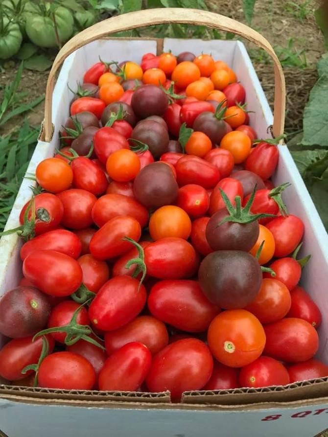 Tomatoes and Eggplant!
