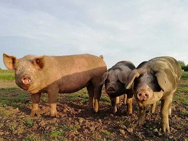 drei-Schweine-Koppel.jpg