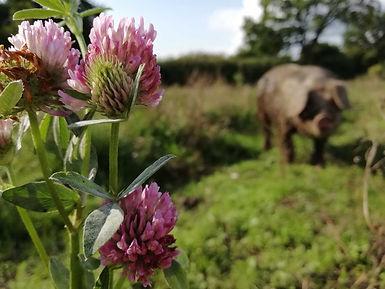 Klee-Freilandschwein.jpg