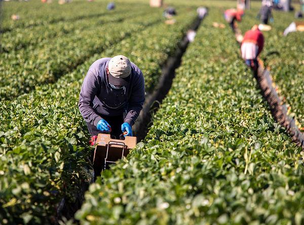 Male farm worker picking strawberries in a field.jpg