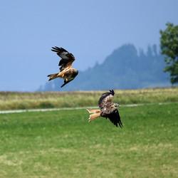 Red Kites Fight