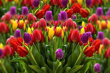 Tulpen pixabay.jpg