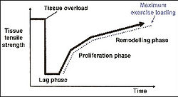 Proliferation Phase - Subacute