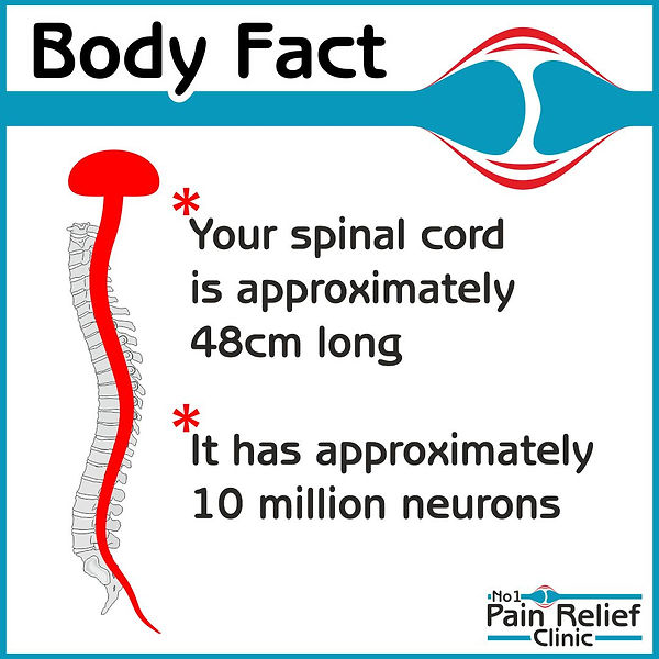 Body fact spinal cord