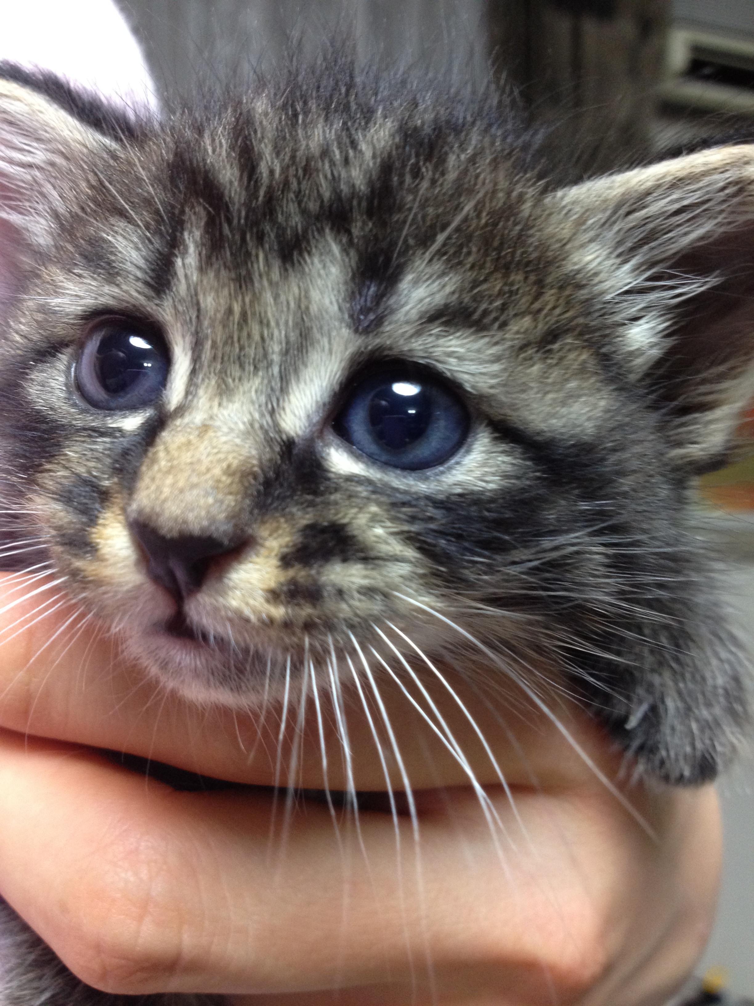 猫/避妊手術(女の子)
