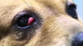 チェリーアイ 第三眼瞼腺突出