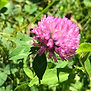Red Clover tmb.jpg